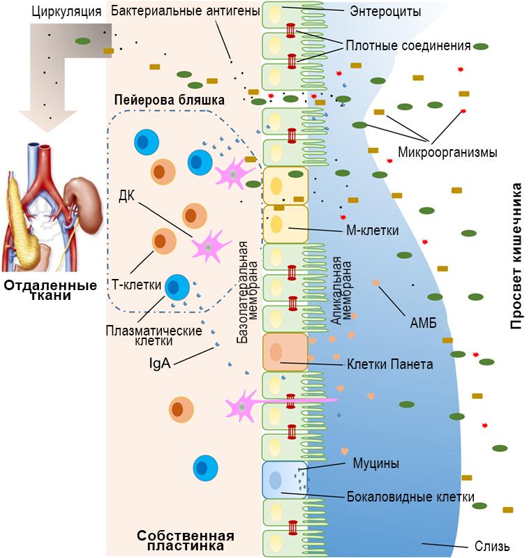 Повышенная проницаемость эпителиального барьера кишечника: механизмы и роль в патогенезе аутоиммунных заболеваний