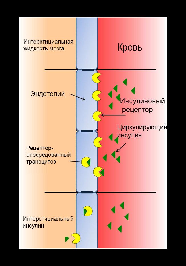 Инсулин в патогенезе центральной инсулинорезистентности, сахарном диабете 2 типа и болезни Альцгеймера