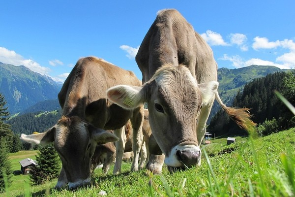 Билл Гейтс финансирует исследования по созданию идеальной коровы