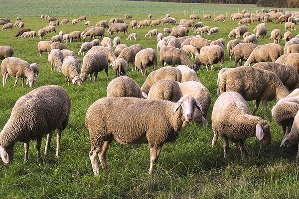 Австралийские ученые сделали фитнес-трекеры для овец