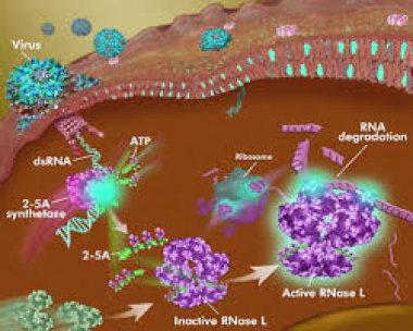 Оценка профилактического эффекта индуктора поздних интерферонов в отношении острых респираторных вирусных инфекций у лиц молодого возраста