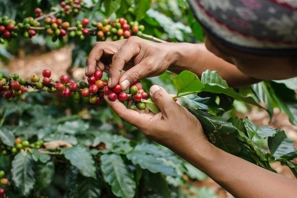 Блокчейн-платформа IBM связала покупателей кофе с производителями