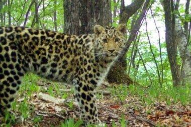 Компьютерное зрение поможет сохранить дальневосточного леопарда