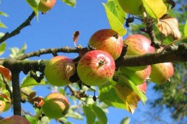 Школьники изучают «науку о яблоках»