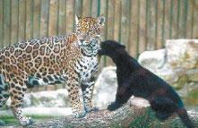 Это родственники дымчатого леопарда