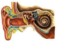 В основу идеи использования человеческого уха в качестве средства персональной идентификации положено явление так называемой отоакустической эмиссии -- шума, исходящего из внутреннего уха