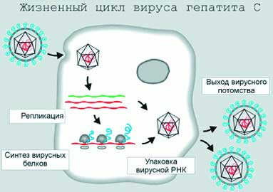Вирус гепатита а схема