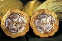Исследователи IBM намерены проникнуть в самое сердце экономических ресурсов Африки, раскрыв тайну генома какао - растения, которое для многих людей, особенно на западе Африки, является основным источником существования