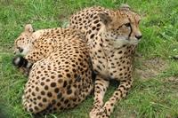 Жизнь гепардов можно не только наблюдать, но и обсуждать в блоге, обмениваясь мнениями, полезной информацией и мультимедийным контентом