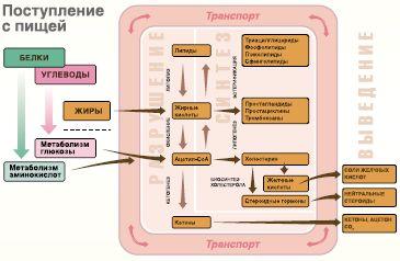 Рис. 3.Ключевые процессы в системе липидного метаболизма
